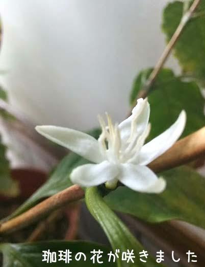 土居コーヒーの花